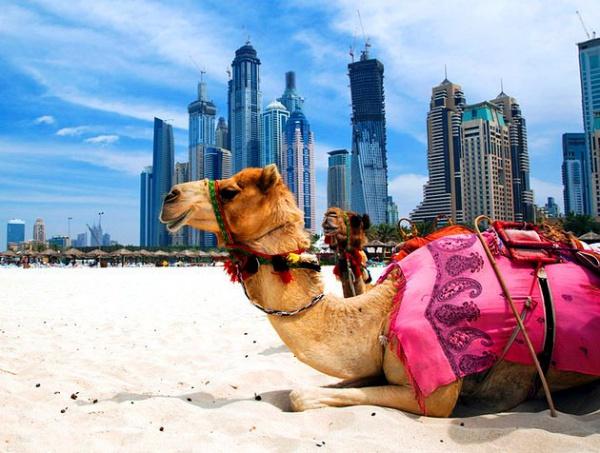 Не возможно не встретить верблюда в ОАЭ