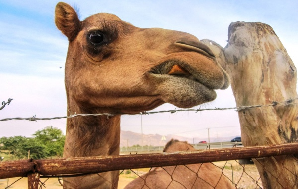 Оманский верблюд, по дороге в Оман