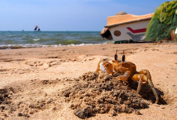 Встреча на Шри-Ланке с крабом, пляж Негомбо