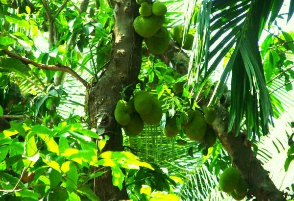 Хлебное дерево на курорте Гоа