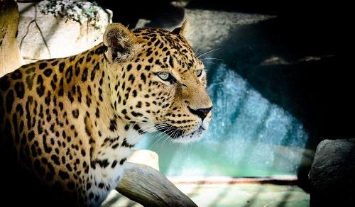 Тигр из Зоопарка Балу